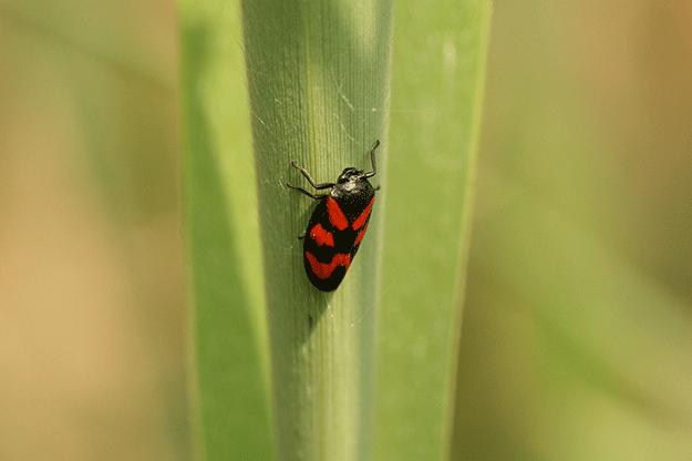 xylella fastidiosa, cercope-verte-insecte--olivier