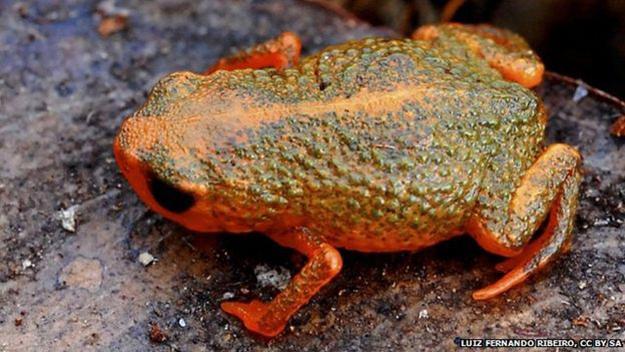 nouvelles espèces climat grenouilles brésil biodiversité