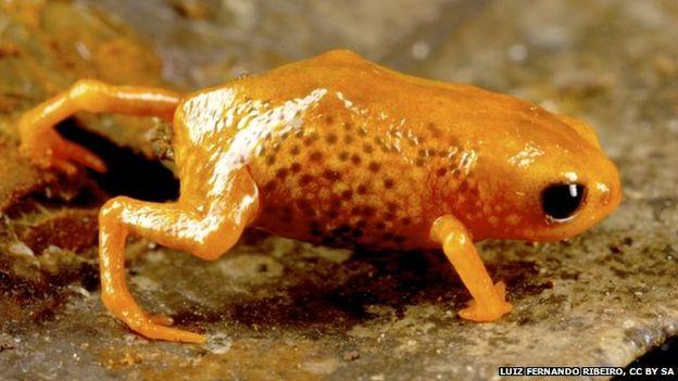 nouvelles espèces climat grenouilles brésil biodiversité Bracycephalus Leopardus