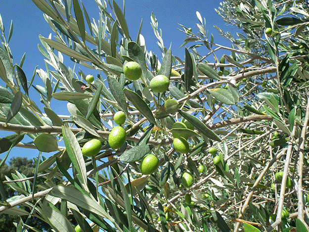 olivier-xylella-fastidiosa-cicadelles-cercopes-insecte-bactérie