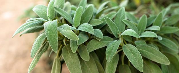 sauge plante