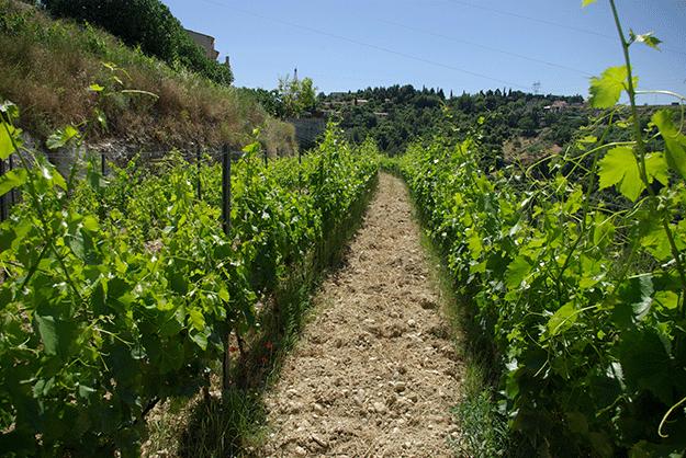 vigne-corse-xylella-fastidiosa-flore-méditerranée-bactérie-insectes