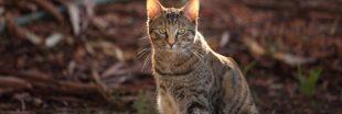 Deux millions de chats sauvages vont être euthanasiés en Australie