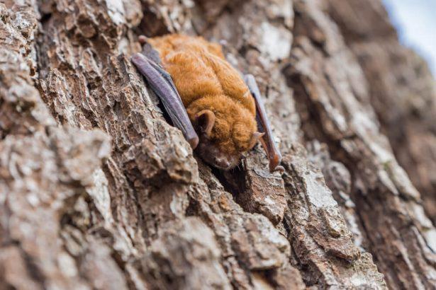lutte biologique auxiliaires chauve-souris