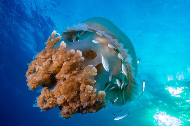 piqûre de méduse