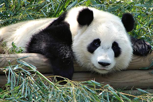 chine-grotte-qinling-montagne-paysage-panda-1