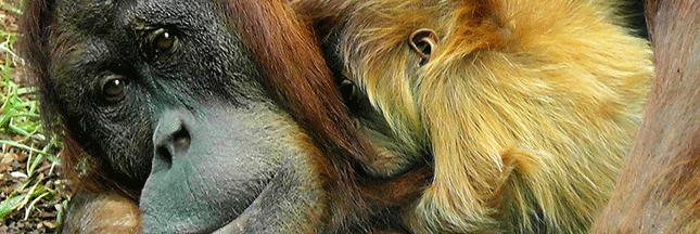 planetoscope statistiques nombre d 39 orangs outangs victimes de l 39 exploitation d 39 huile de palme. Black Bedroom Furniture Sets. Home Design Ideas