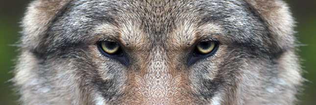 """Résultat de recherche d'images pour """"le loup"""""""
