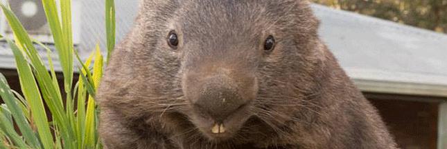 Le plus vieux Wombat au monde essaye de trouver l'amour sur Tinder