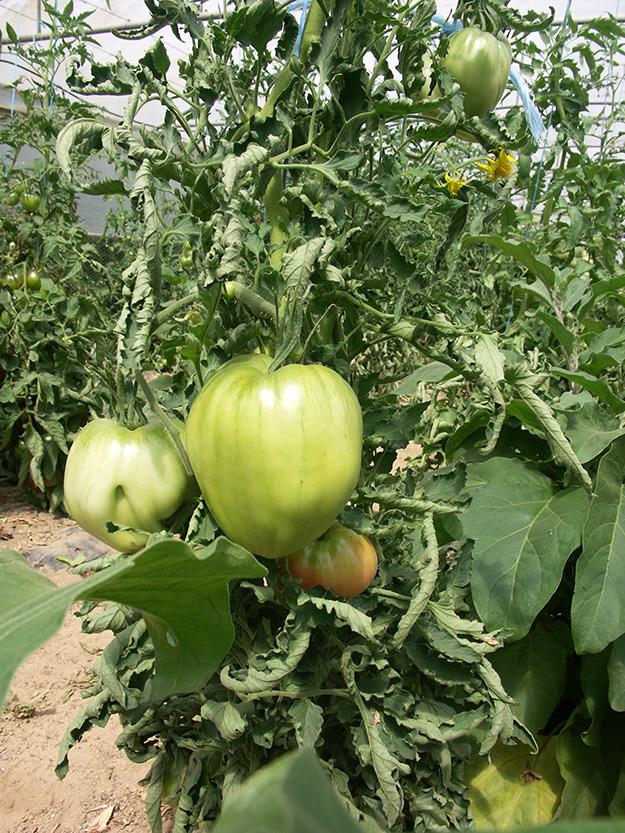 variétés de tomates bio monde entier culture france ferme
