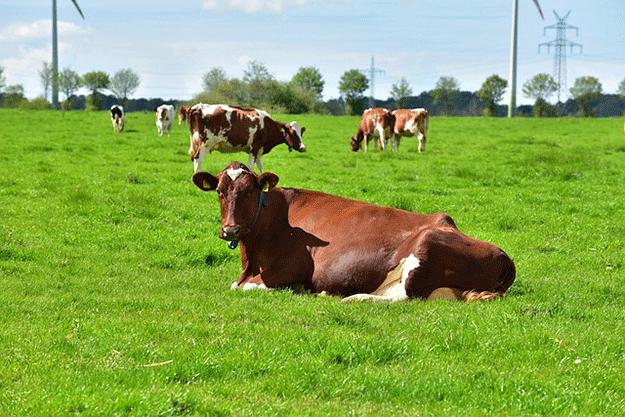 viande-vache-elevage-agriculture