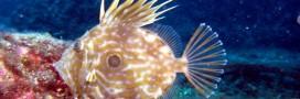Le Saint-Pierre, un poisson qui gagne à être connu