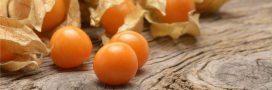 Vins d'alkékenge et d'artichaut: diurétiques, anti-fièvre, anti-cholestérol
