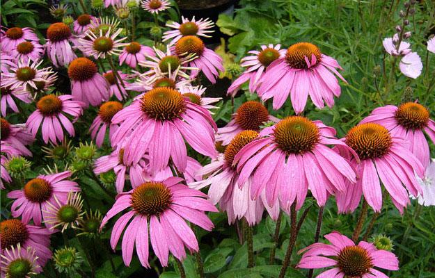 echinacee-plantes-sante-forme
