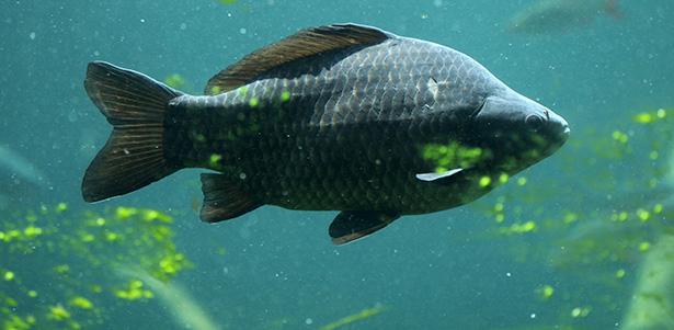 Peut on consommer la carpe guide des poissons for Poisson carpe