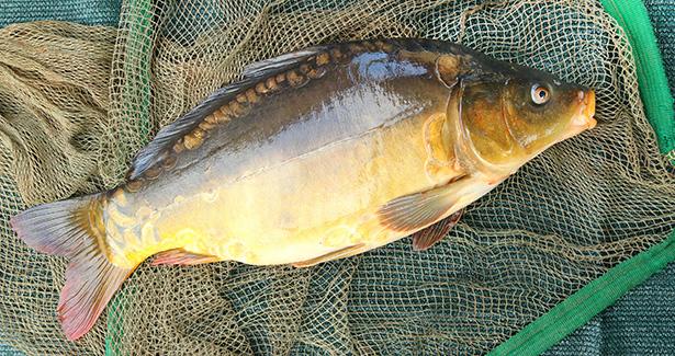 Guide des poissons peut on consommer la carpe for Poisson les plus cuisiner