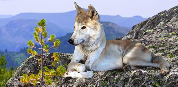 intelligence des loups loup homme