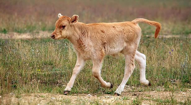 veau-elevage-bio-elevage-intensif-bien-être-animal