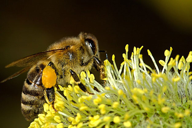abeilles-plantes-cafeine-pollen