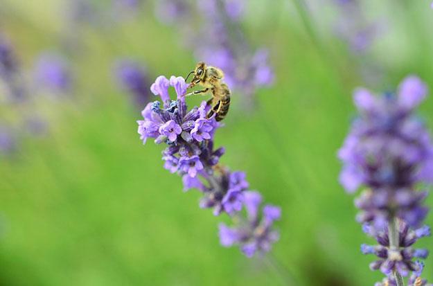 abeilles-pollen-plantes-fleurs-cafeine