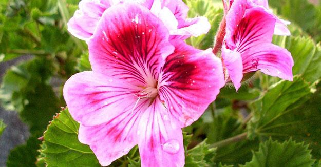 geranium-rosat-01