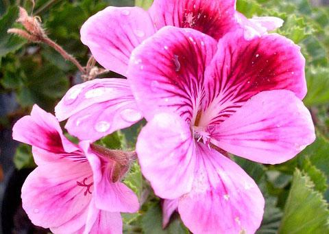 geranium-rosat-02
