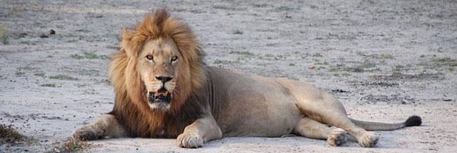 L'échec de la protection des lions et éléphants en Afrique