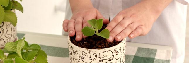 planter de la menthe