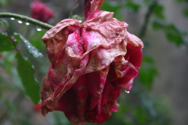 jardin en novembre, rosier