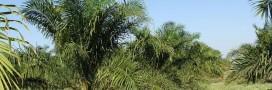 L'Allemagne veut cesser l'importation d'huile de palme non certifiée