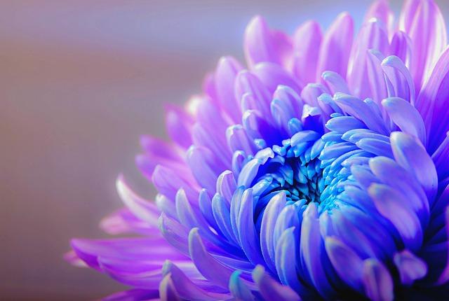 mort et écologie, chrysanthème