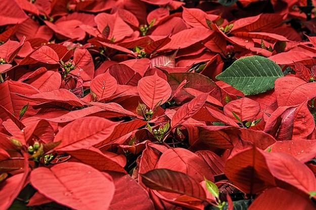 Comment faire durer votre toile de no l le poinsettia - Plante a feuilles rouges ...