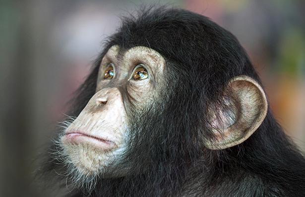 test sur les animaux chimpanzé