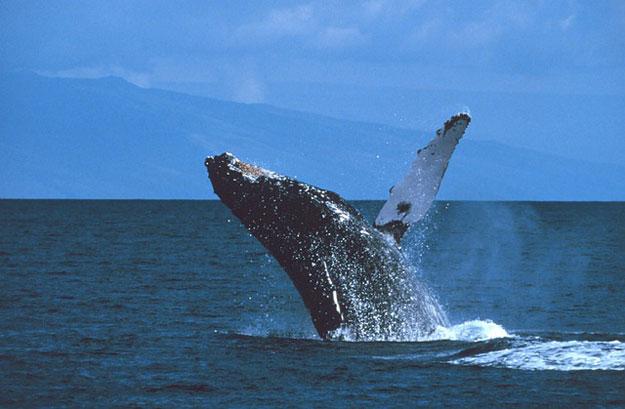 baleine-baleinier-japon-chasse
