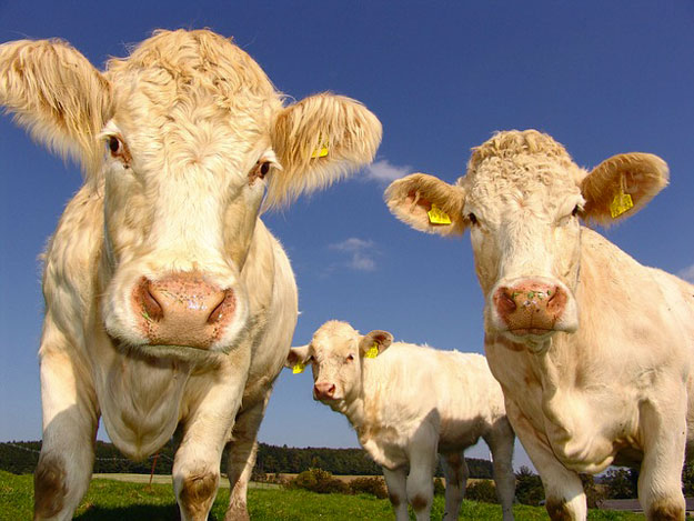 climat-vaches-pets-rots-methane-2