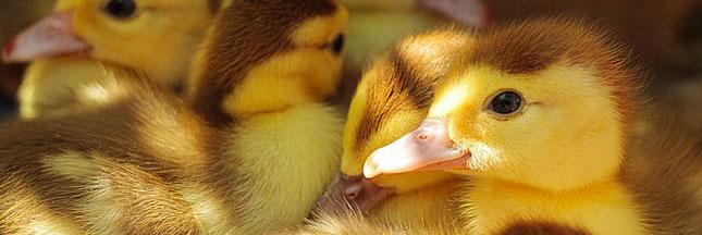 Foie gras : nouvelles vidéos choc sur les méthodes de production
