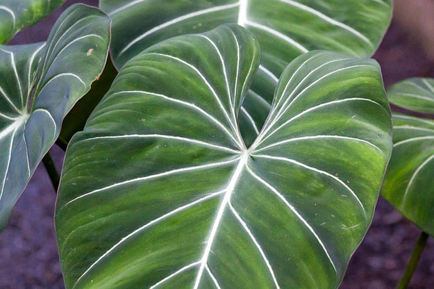 philodendron-plantes-toxiques-animaux