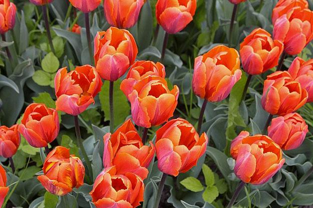 tulipe-plantes-toxiques-animaux