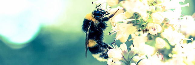 Pesticides toxiques pour les abeilles : l'ANSES préconise des restrictions élargies et durables