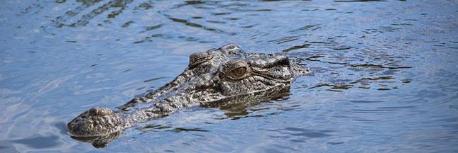 L'Australie augmente ses exportations à base de crocodile