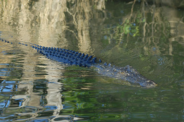 australie-crocodile-exportation-oeufs