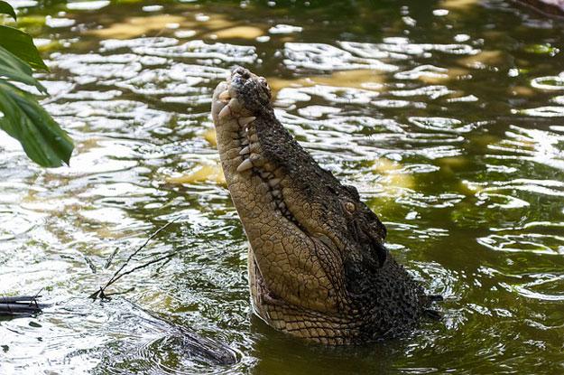 australie-crocodile-oeufs