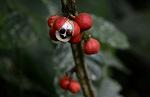 renforcer système immunitaire plantes guarana