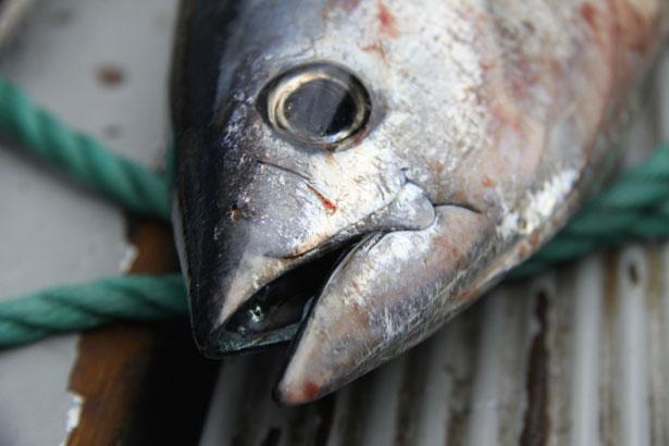 thon-conserve-bio-poissons