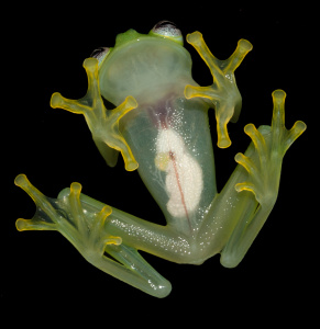 Espèces découvertes en 2015 - Hyalinobatrachium dianae