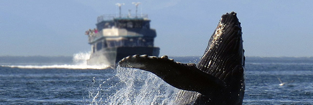 Le bruit des moteurs de bateaux stresse les animaux marins