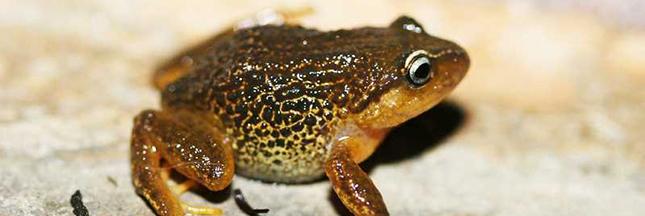La grenouille aux sourcils jaunes : une nouvelle espèce découverte en Colombie