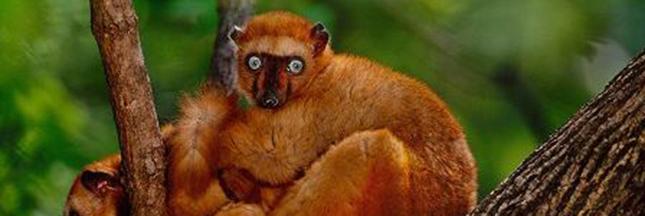 10 espèces se battent contre leur extinction grâce aux zoos