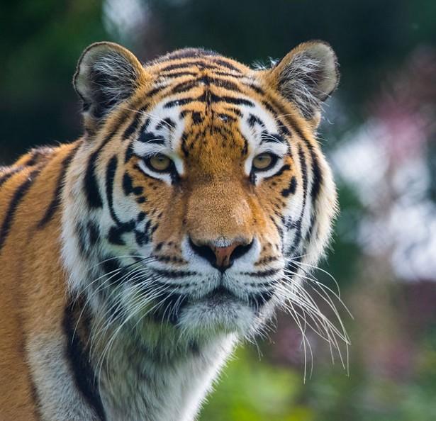Extrem Le tigre de Siberie : une des 10 espèces menacées d'extinction en  TC54