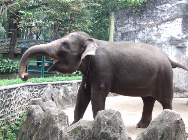 espèces menacées 2016: l'éléphant de Sumatra